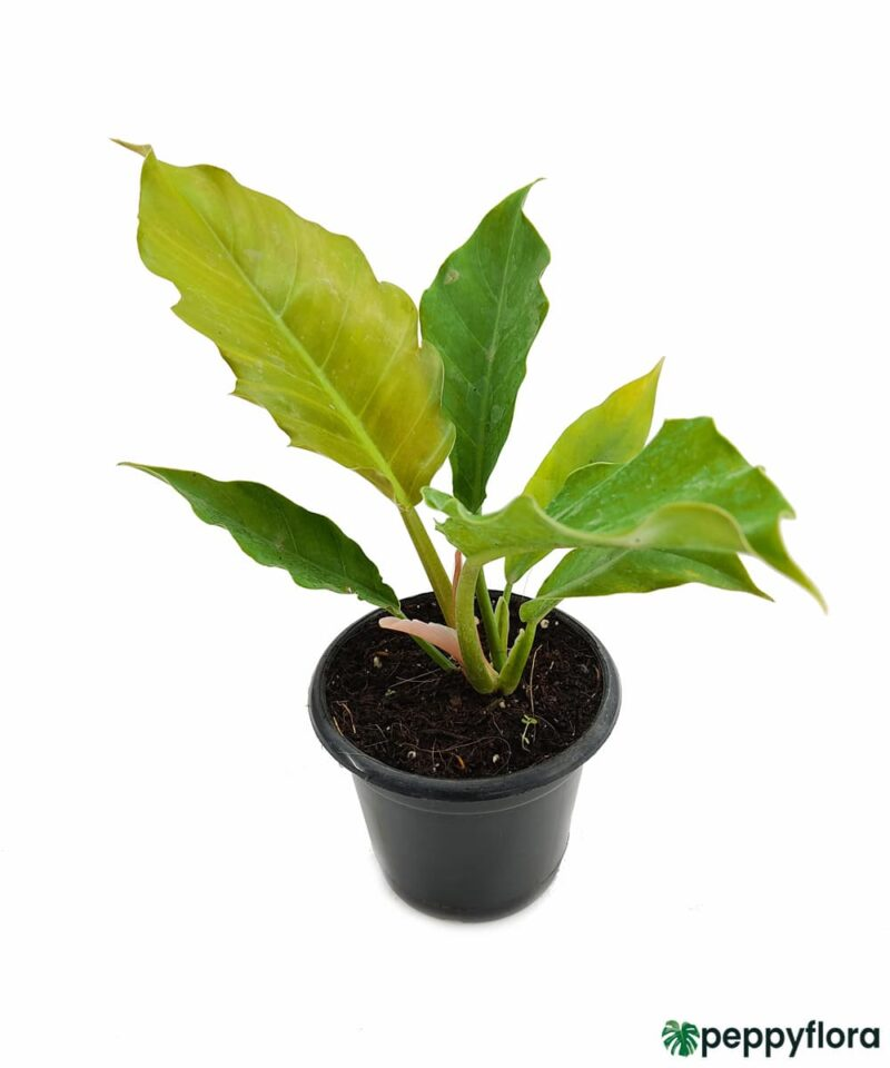 Philodendron-Pluto-Product-Peppyflora-01-d-Moz