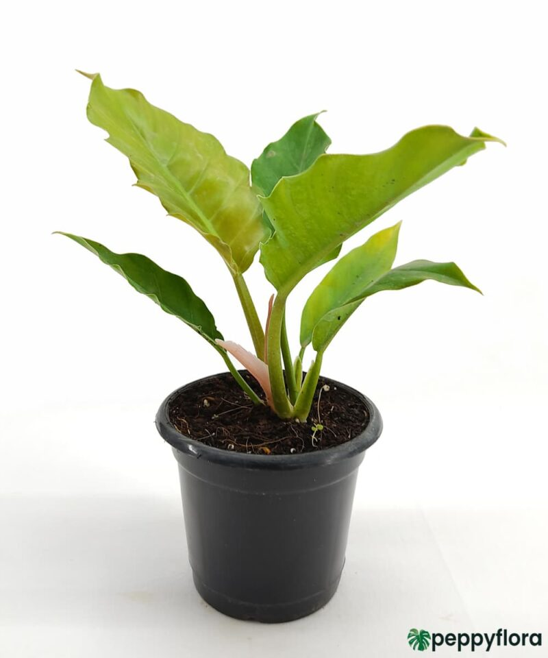 Philodendron-Pluto-Product-Peppyflora-01-e-Moz