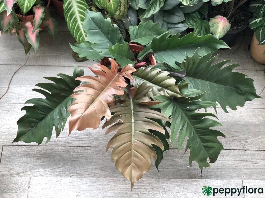 Philodendron-Pluto-Product-Peppyflora-02-Moz