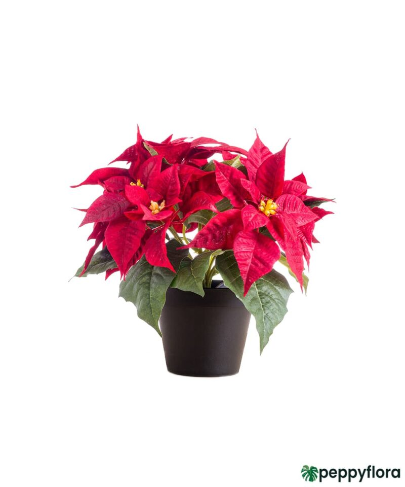 Poinsettia-Red-Product-Peppyflora-01-a-Moz