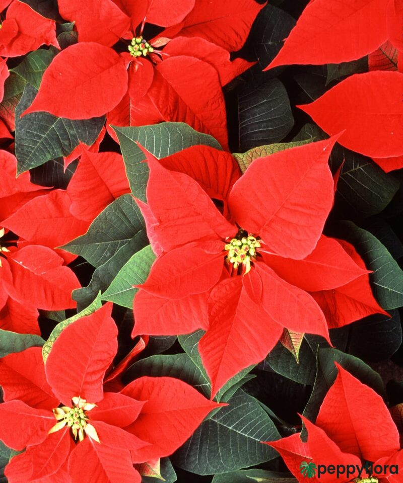 Poinsettia-Red-Product-Peppyflora-01-b-Moz