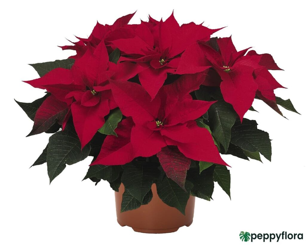 Poinsettia-Red-Product-Peppyflora-02-Moz
