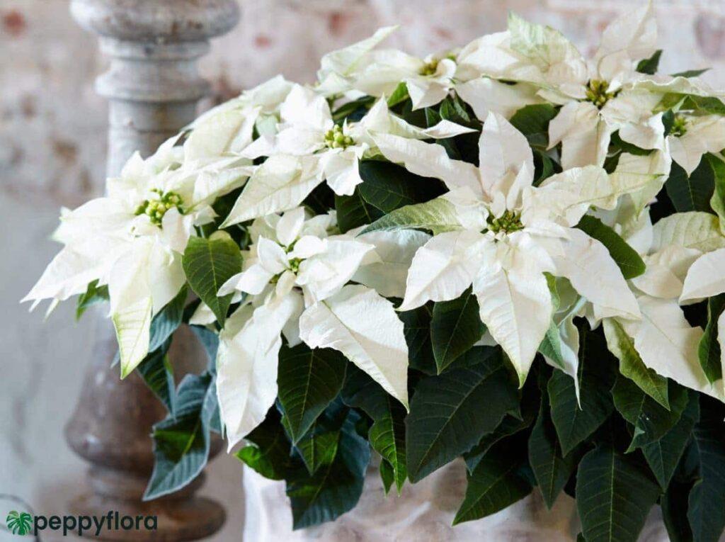 Poinsettia-White-Product-Peppyflora-02-Moz