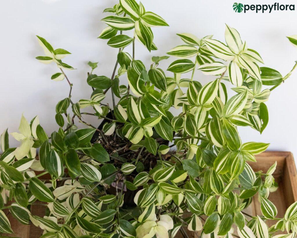 Tradescantia-Fluminensis-Variegata-Product-Peppyflora-02-Moz