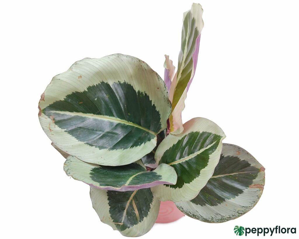 Calathea-Roseopicta-Cynthia-Product-Peppyflora-02-Moz
