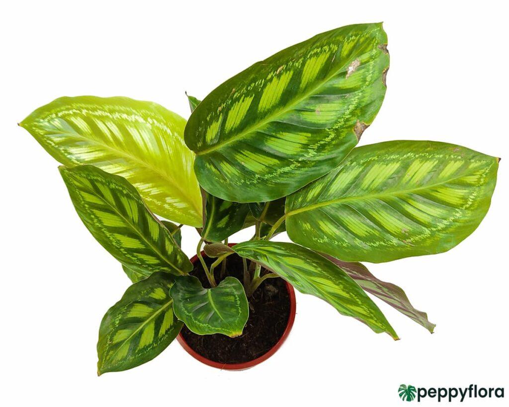 Calathea-Roseopicta-Product-Peppyflora-02-Moz