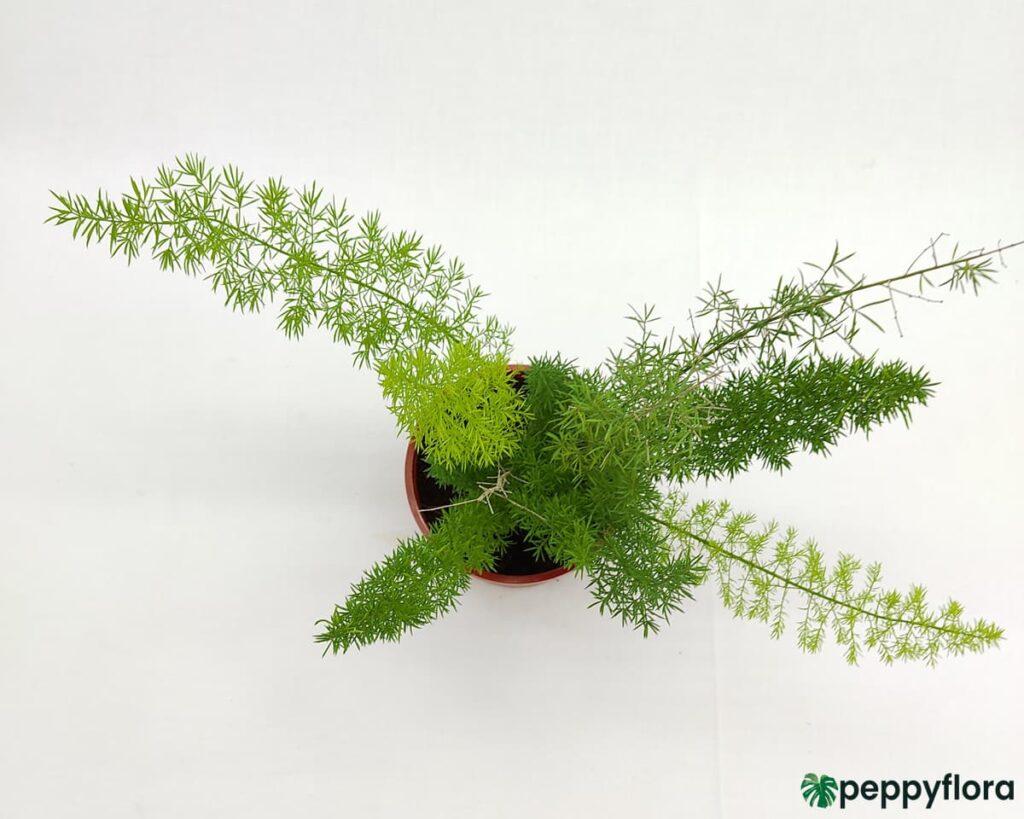 Foxtail-Fern-Asparagus-Meyeri-Product-Peppyflora-02-Moz