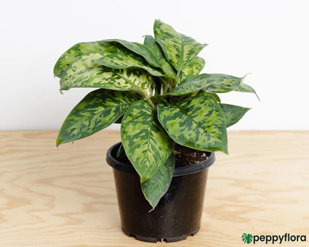 Homalomena-Wallisii-Camouflage-Product-Peppyflora-02-Moz
