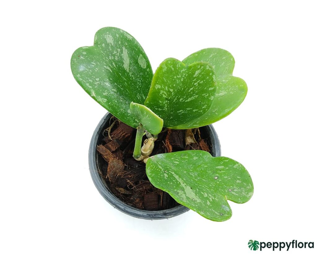 Hoya-Kerrii-Splash-Product-Peppyflora-02-Moz