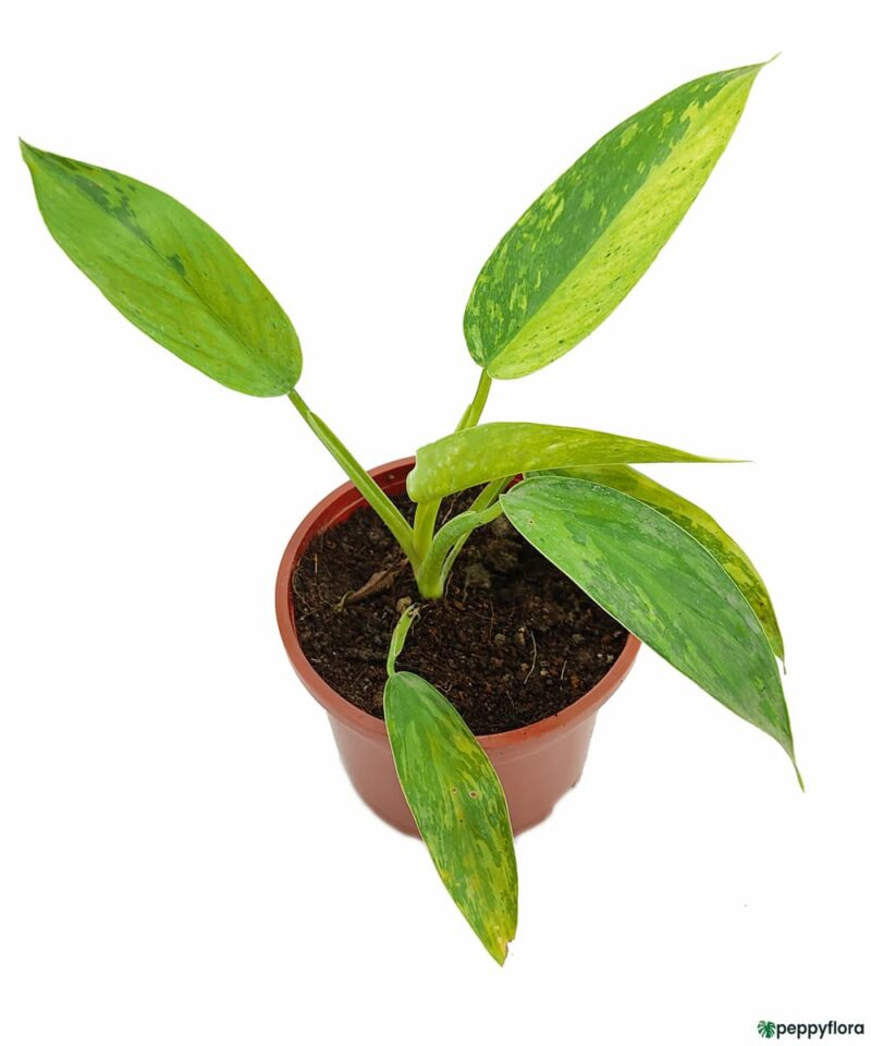 Philodendron-Jose-Bruno-Product-Peppyflora-01-d-Moz