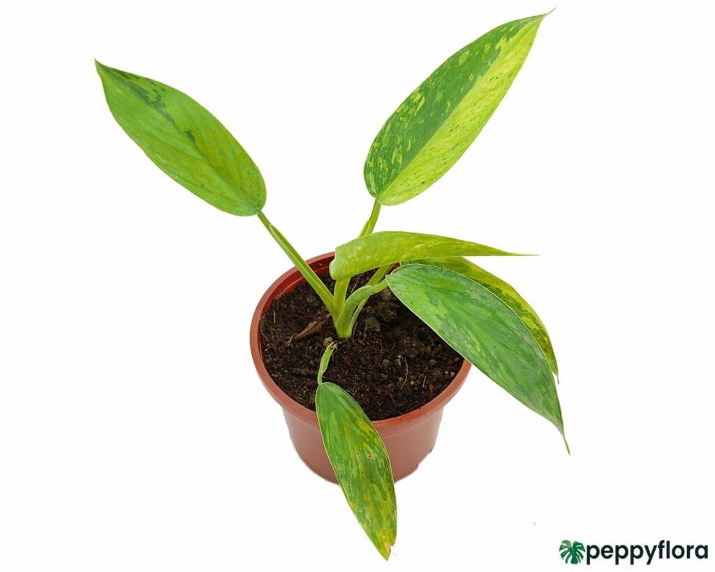 Philodendron-Jose-Buono-Product-Peppyflora-02-Moz