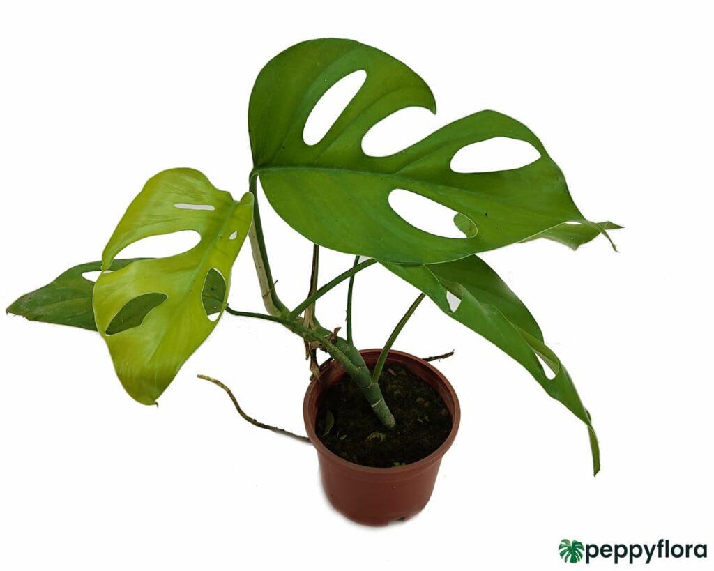 Rhaphidophora-Pertusa-Product-Peppyflora-02-Moz