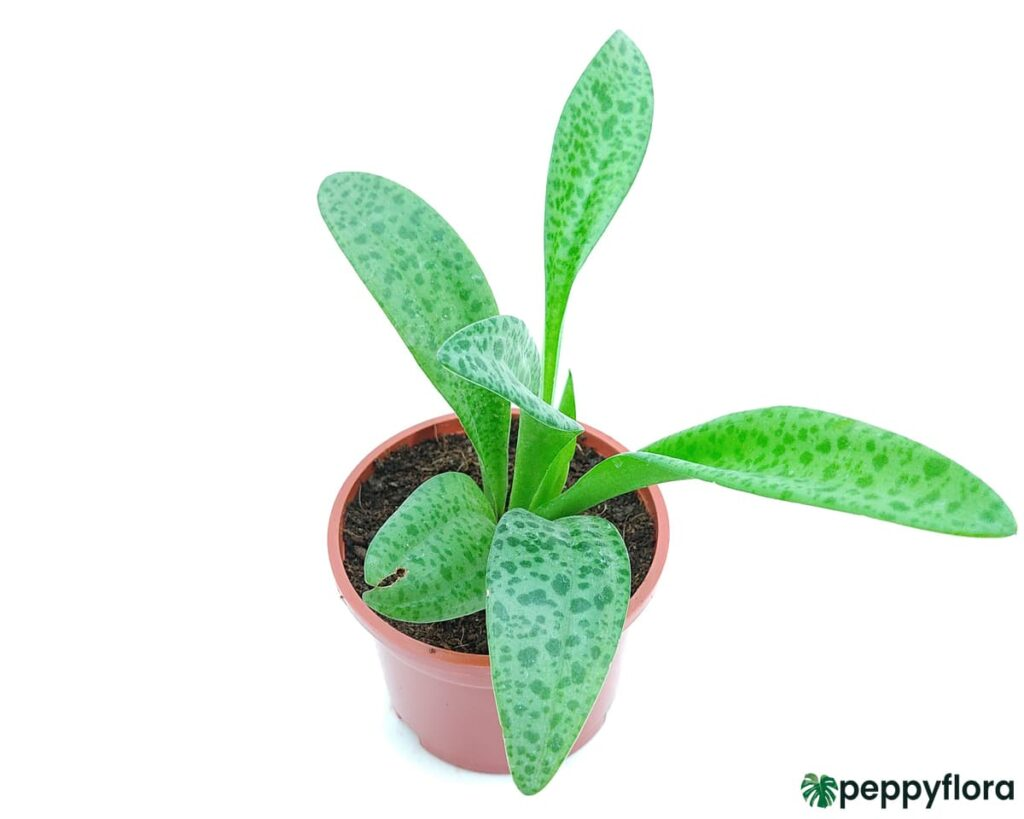 Scilla-Passiflora-Silver-Squill-Ledebouria-Socialis-Product-Peppyflora-02-Moz