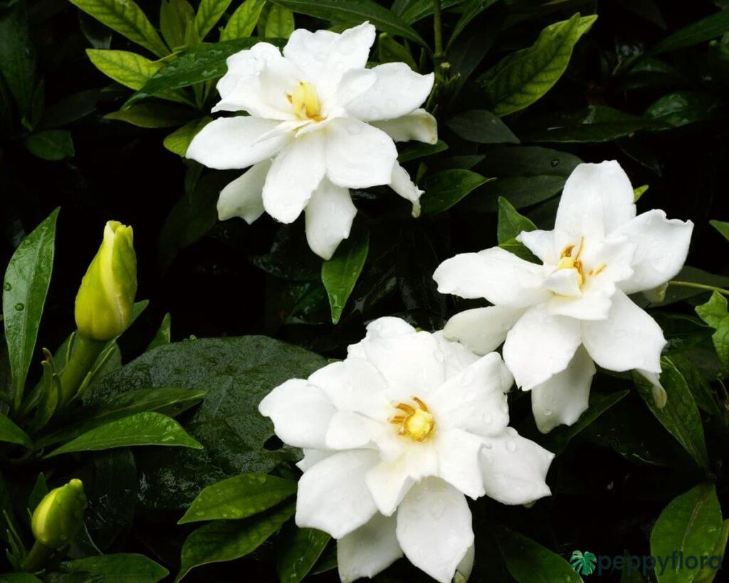 Gardenia-Jasminoides-Cape-Jasmine-Product-Peppyflora-02-Moz