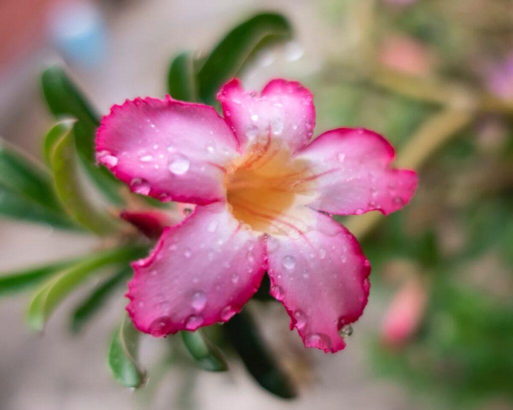 Peppyflora-Adenium-Care-01-Moz
