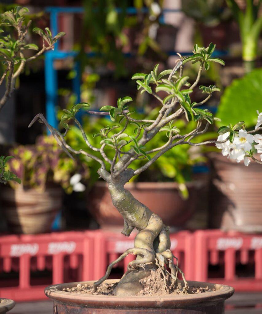 Peppyflora-Adenium-Care-02-a-Moz