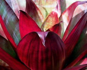 Peppyflora-Bromeliad-Care-01-Moz