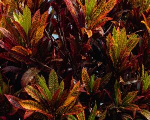 Peppyflora-Croton-Care-01-Moz
