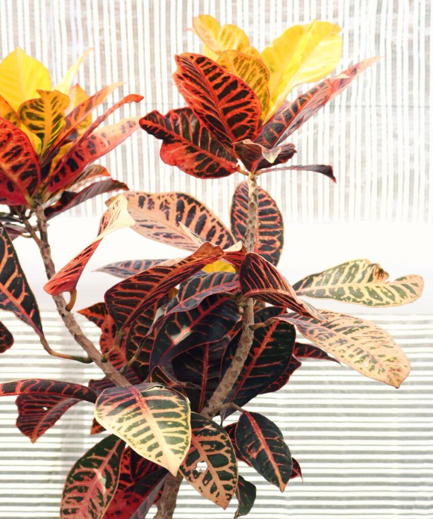Peppyflora-Croton-Care-02-a-Moz