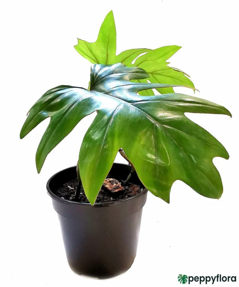 Philodendron-Mayoi-Product-Peppyflora-01-a-Moz