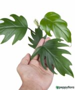 Philodendron-Mayoi-Product-Peppyflora-01-c-Moz
