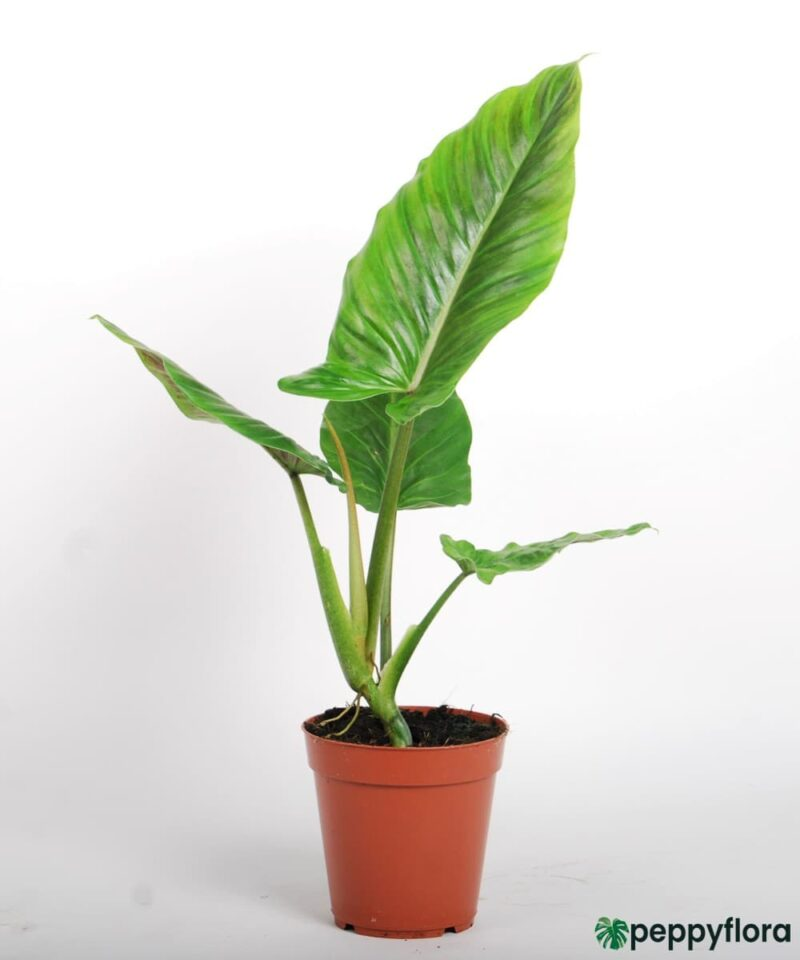 Philodendron-Subhastatum-Product-Peppyflora-01-a-Moz