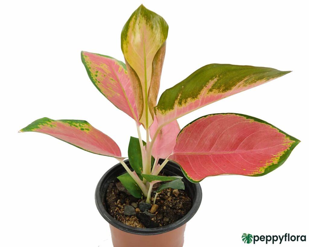 Aglaonema-Suksom-Jaipong-Product-Peppyflora-02-Moz