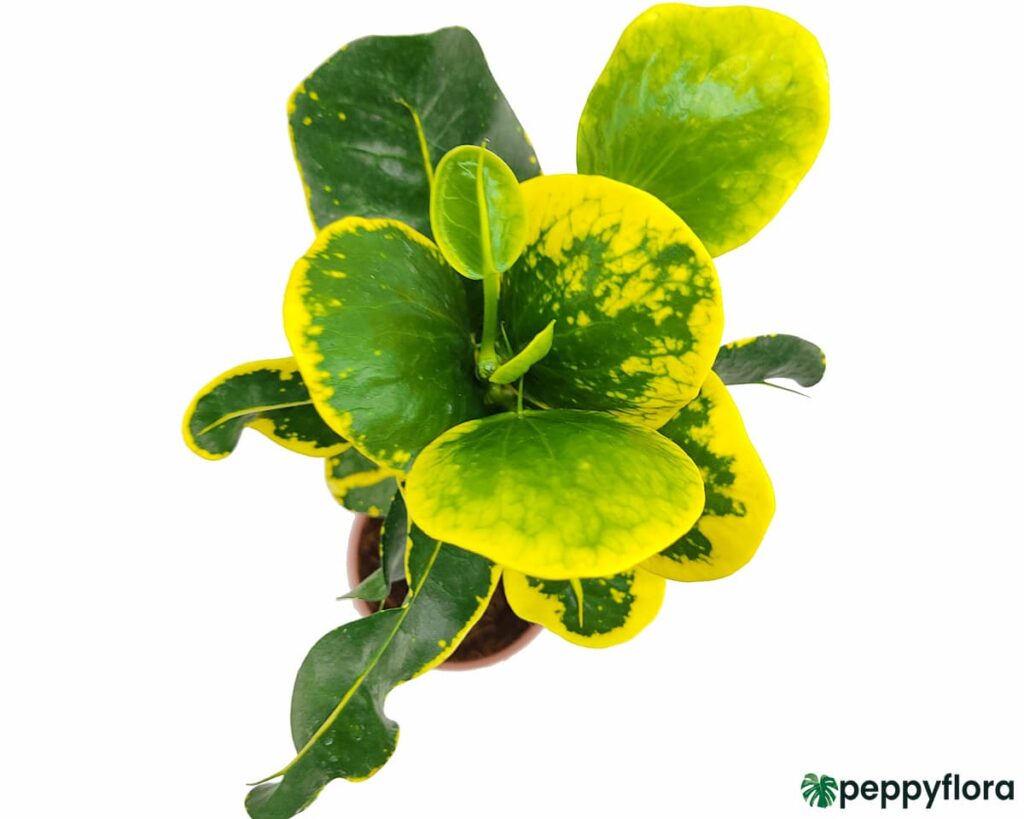 Croton-Apple-Leaf-Yellow-Product-Peppyflora-02-Moz