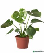 Monstera-Deliciosa-Swiss-Cheese-Plan-Product-Peppyflora-01-a-Moz
