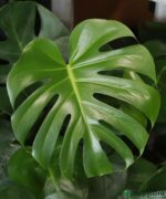 Monstera-Deliciosa-Swiss-Cheese-Plan-Product-Peppyflora-01-c-Moz