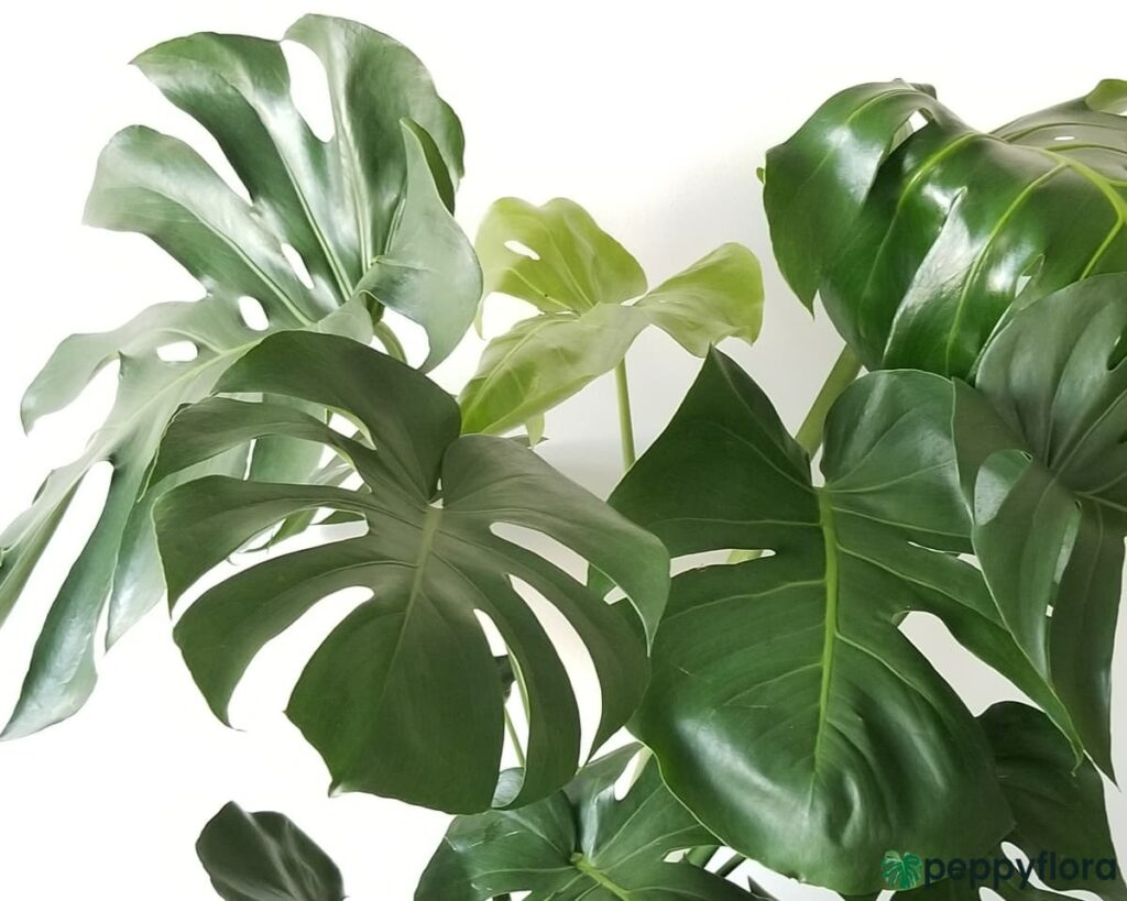 Monstera-Deliciosa-Swiss-Cheese-Plan-Product-Peppyflora-02-Moz