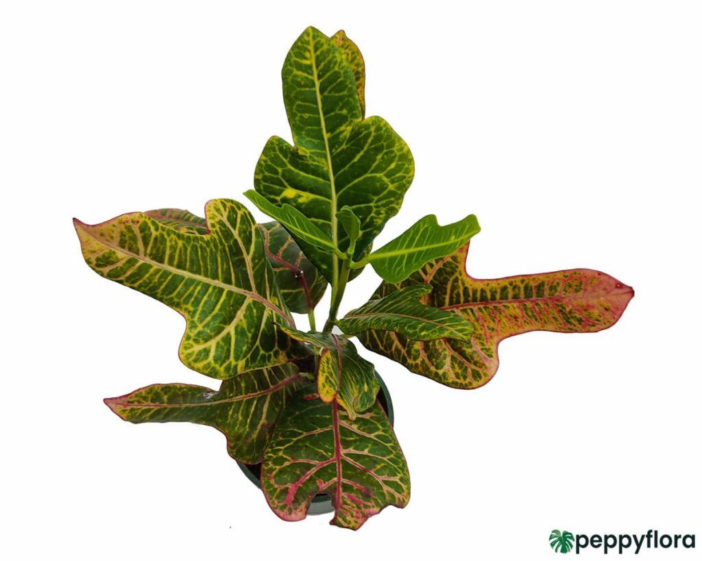 Oakleaf-Croton-Product-Peppyflora-02-Moz