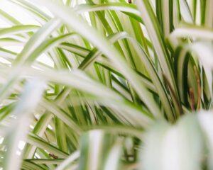 Peppyflora-Chlorophytum-Care-01-Moz