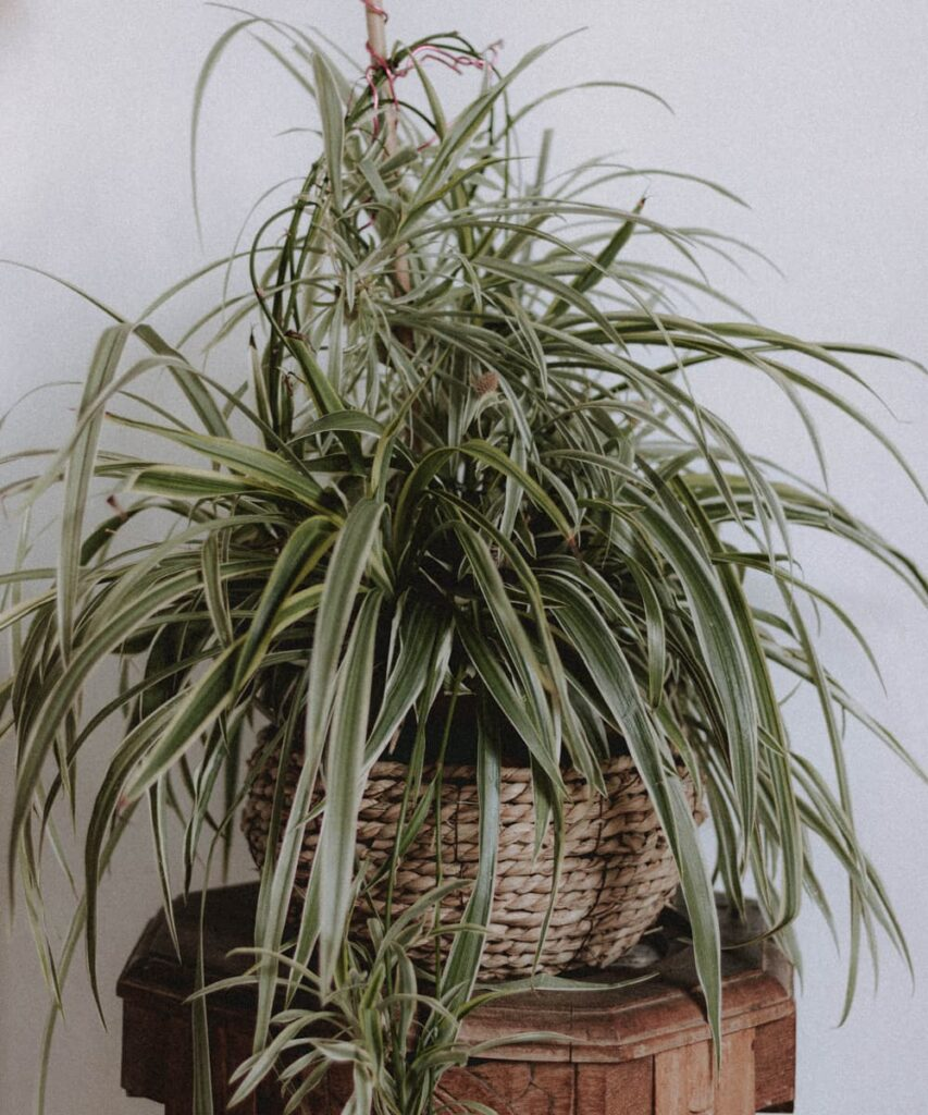 Peppyflora-Chlorophytum-Care-02-a-Moz