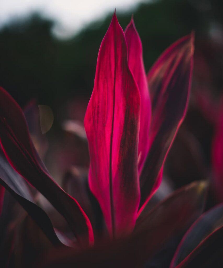 Peppyflora-Cordyline-Care-02-a-Moz