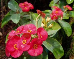 Peppyflora-Euphorbia-Care-01-Moz