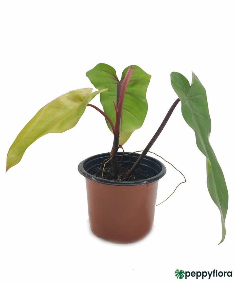 Philodendron-Erubescens-Red-Emerald-Product-Peppyflora-01-b-Moz