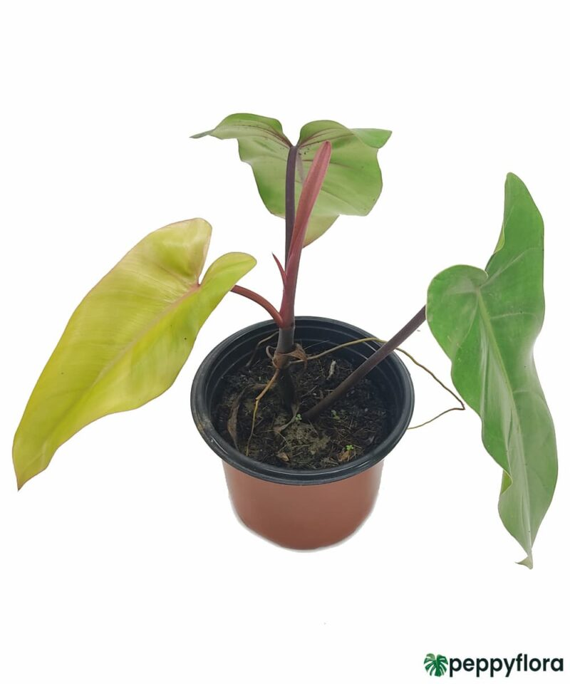 Philodendron-Erubescens-Red-Emerald-Product-Peppyflora-01-c-Moz