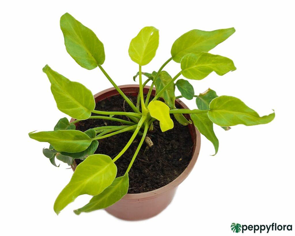 Philodendron-Golden-Xanadu-Product-Peppyflora-02-Moz