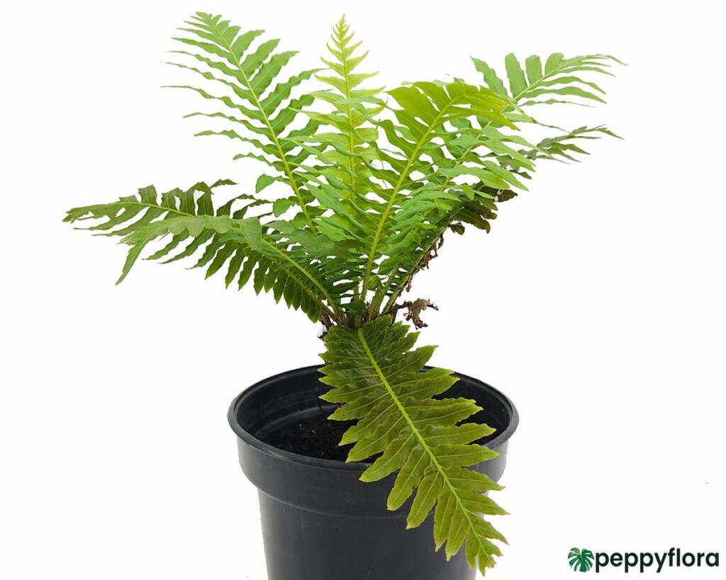 Tree-Fern-Product-Peppyflora-02-Moz