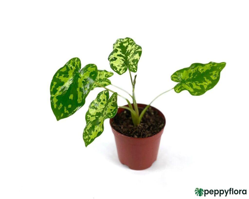 Caladium-Hilo-Beauty-Alocasia-Hilo-Beauty-Product-Peppyflora-02-Moz