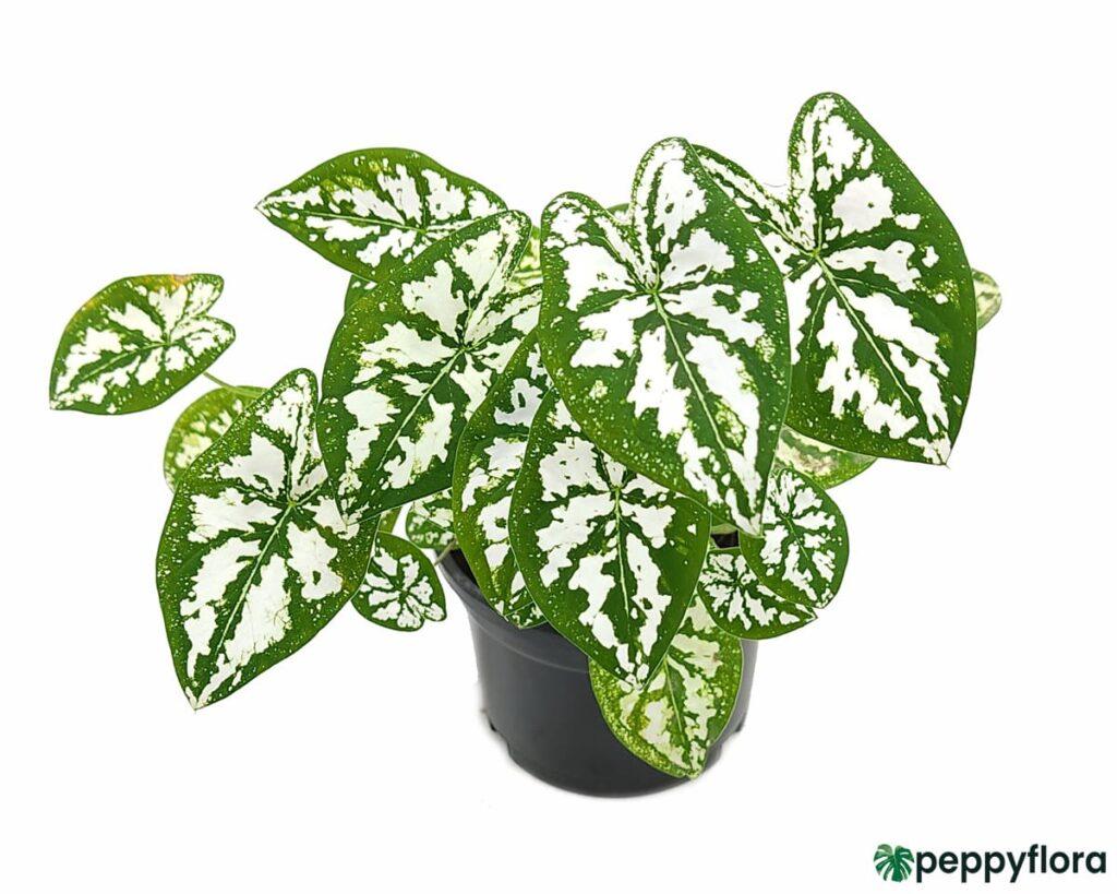 Caladium-Humboldtii-Mini-White-Product-Peppyflora-02-Moz
