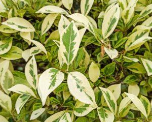 Peppyflora-Ficus-Care-01-Moz
