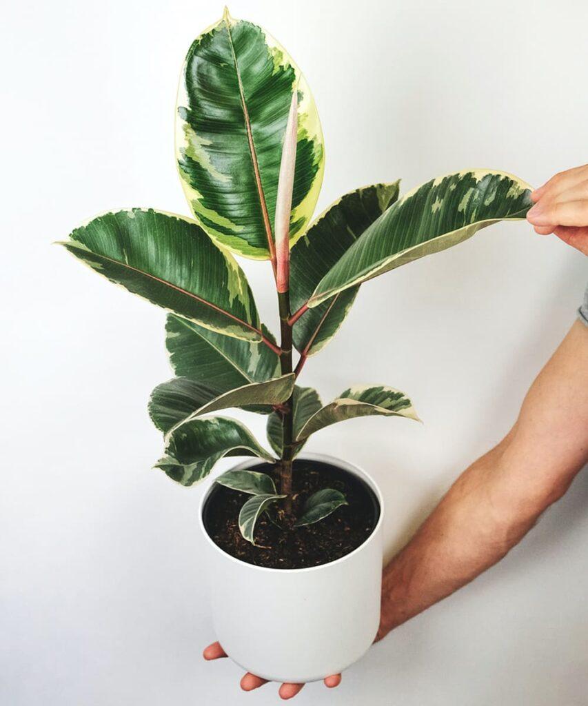 Peppyflora-Ficus-Care-02-b-Moz