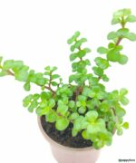 Portulacaria-Afra-Good-Luck-Jade-Plant-Product-Peppyflora-01-c-Moz