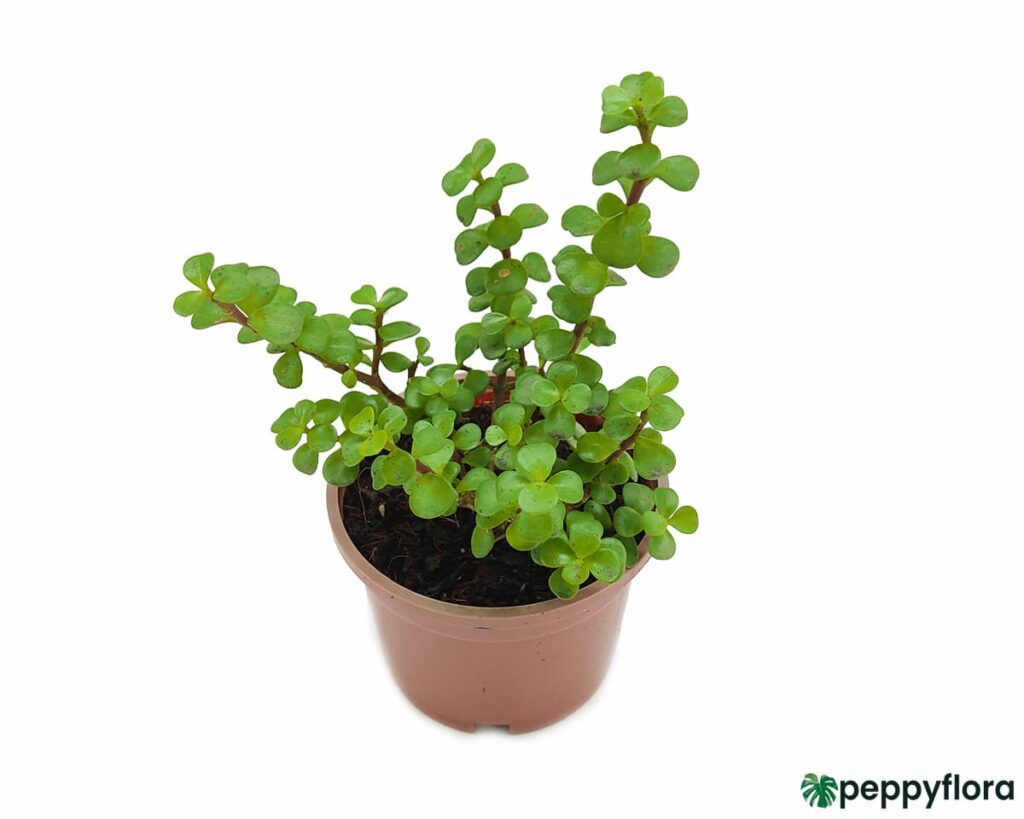 Portulacaria-Afra-Good-Luck-Jade-Plant-Product-Peppyflora-02-Moz
