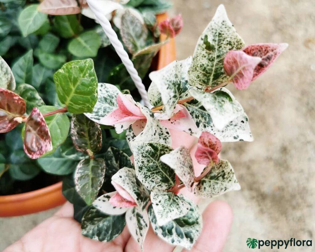 Tricolor-Asiatic-Jasmine-Product-Peppyflora-02-Moz