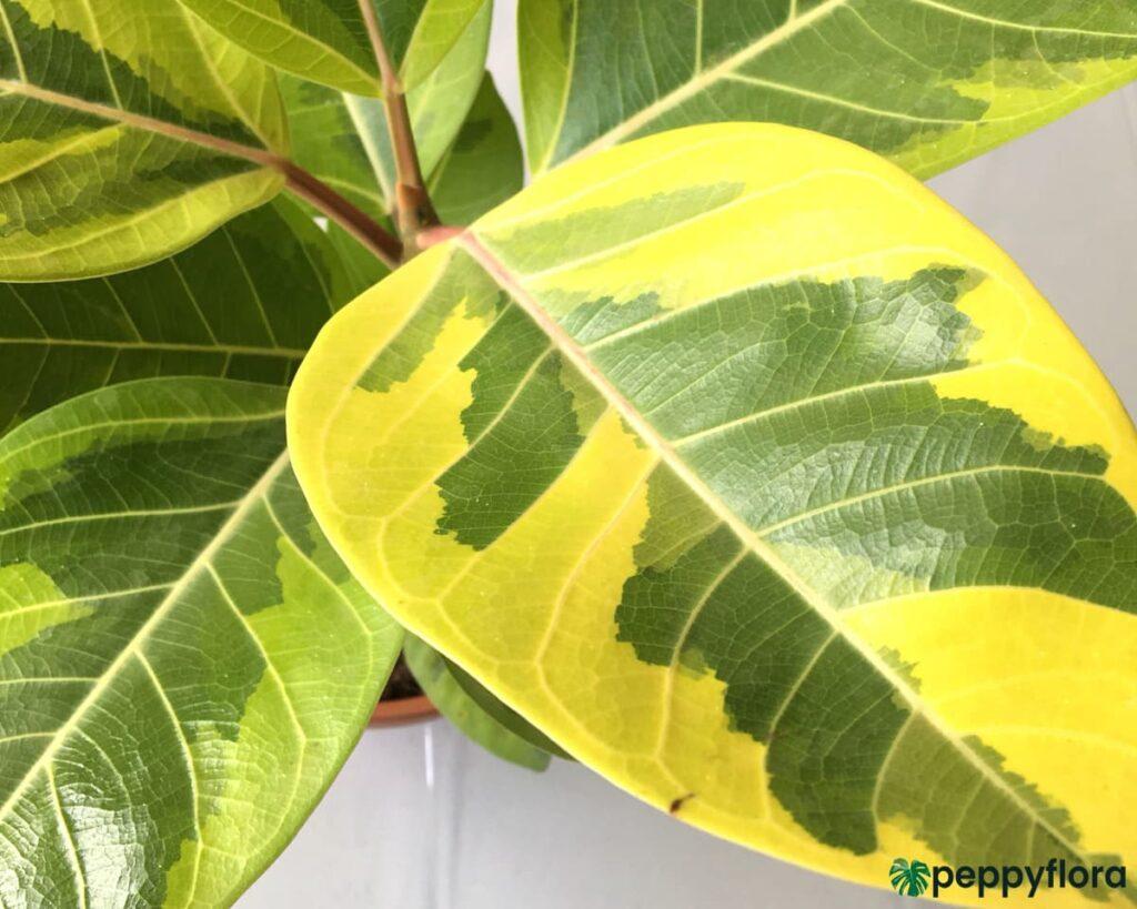 Ficus-Benghalensis-Variegata-Variegated-Banyan-Tree-Product-Peppyflora-02-Moz