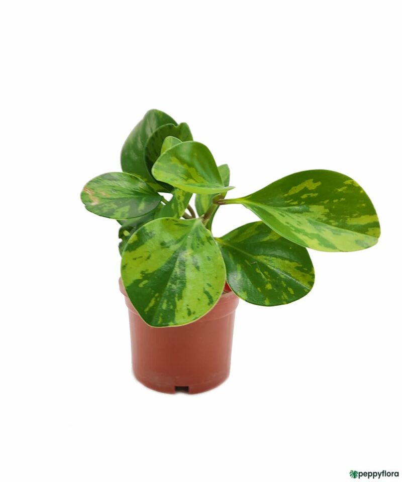 Green-Variegated-Peperomia-Obtusifolia-Product-Peppyflora-01-a-Moz