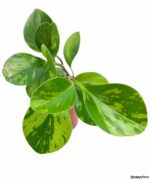 Green-Variegated-Peperomia-Obtusifolia-Product-Peppyflora-01-c-Moz